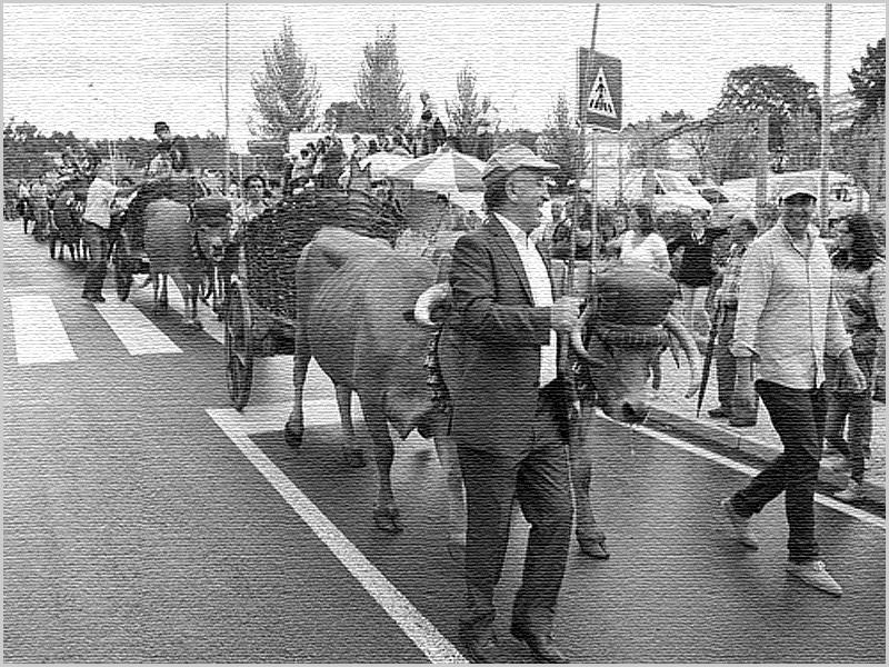 Desfile de carros de vacas - capeiaarraiana.pt