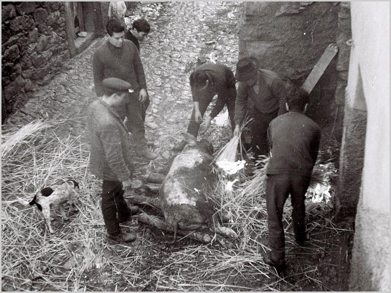 Queimando os pêlos e raspando a pele do porco na matança em Quadrazais