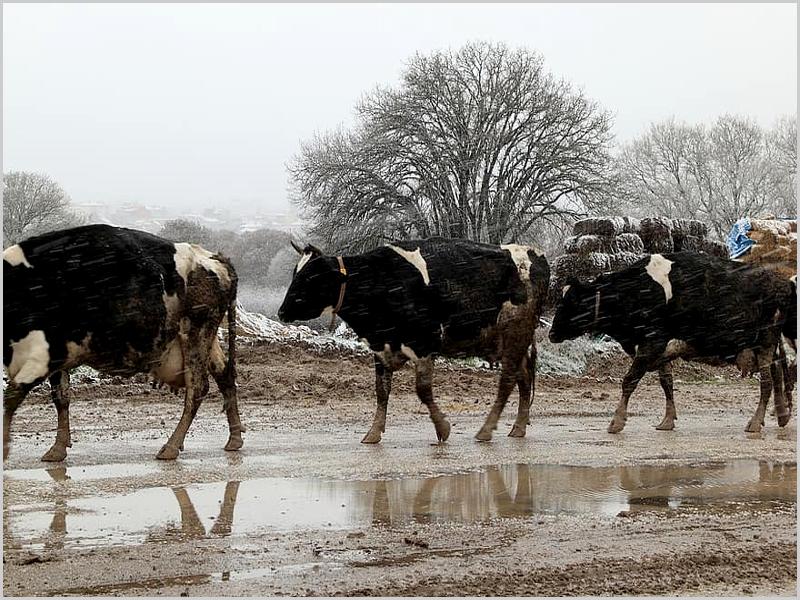 Vacas leiteiras em dia de Inverno rigoroso