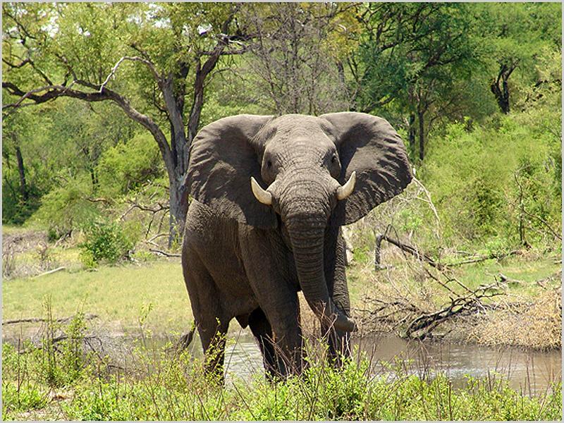 No seu ambiente natural, eis o rei lá da zona: Sua Alteza o elefante