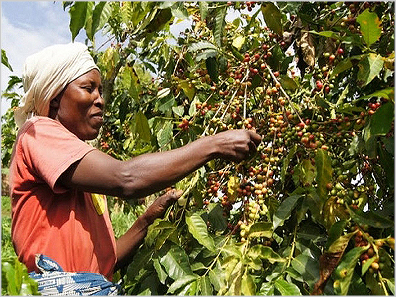 Na zona do Maiombe abundava o café