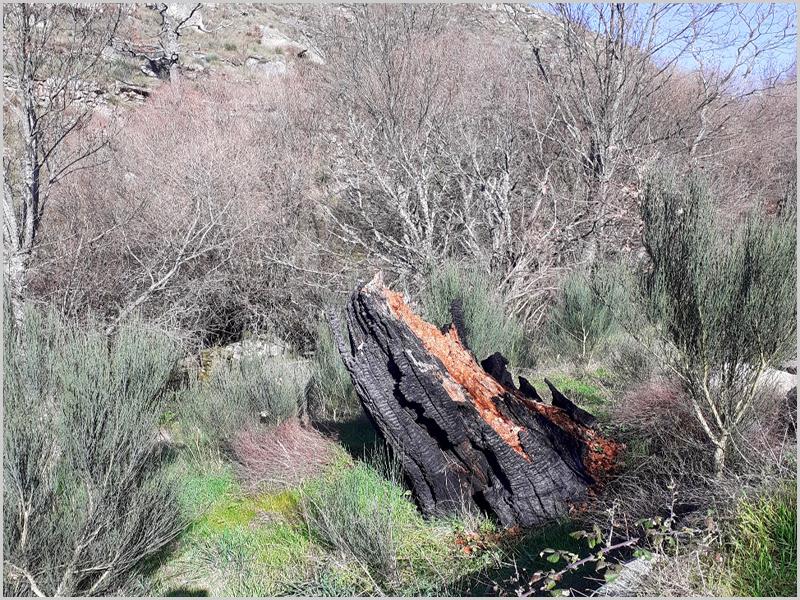 Resto de um tronco de Castanheiro. Até à década de 1970 havia muitos por aqui mnas hoje estão quase extintos!