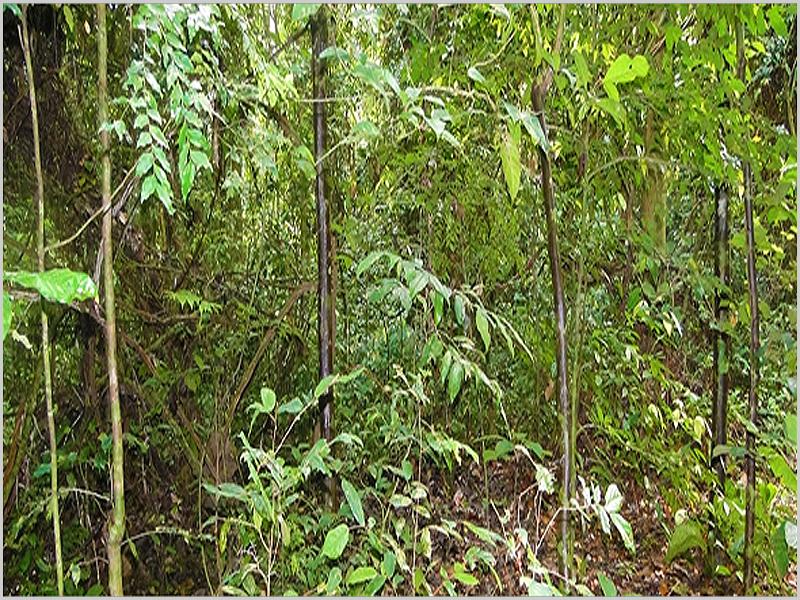 Maiombe - floresta virgem assustadora