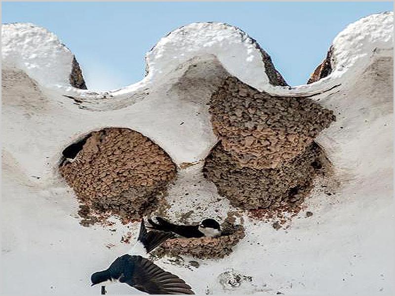 Ninhos de andorinhas no beiral do telhado