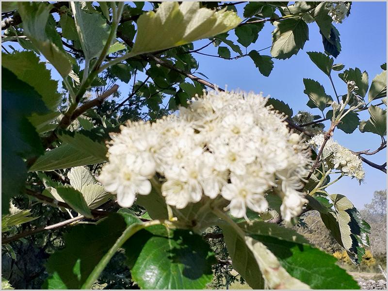Flor do mostajeiro