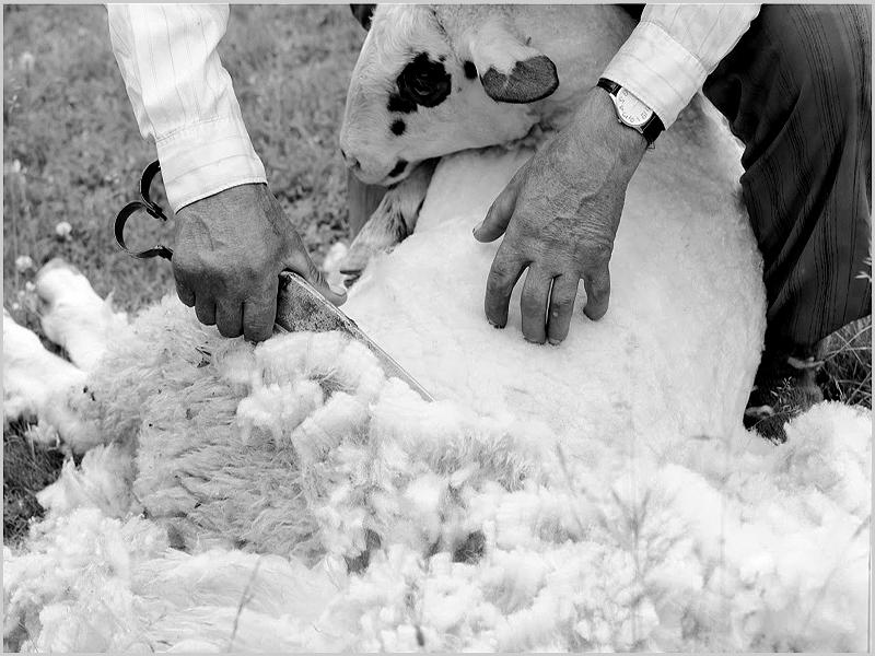 Tosquia de ovelhas