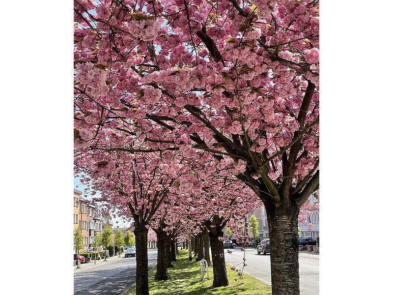 Cerejeiras