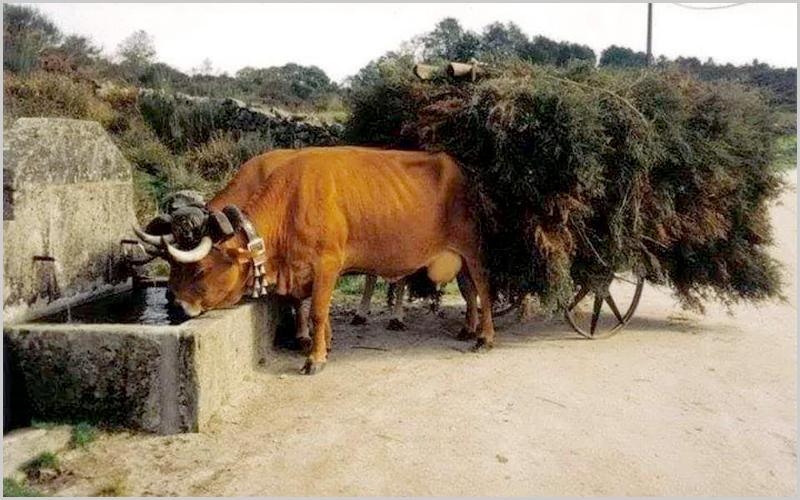 Vacas bebem no pio da fonte com o carro carregado de giestas (foto: Foto de Francisco Afonso em Os Beirões no Facebook)