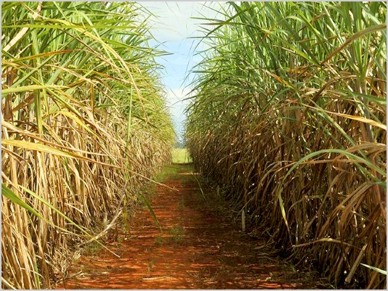Produção de cana-de-açúcar em Angola