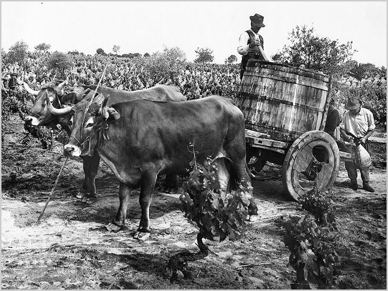 Carro de vacas com uma dorna para acarranjar os gatchos da vinha