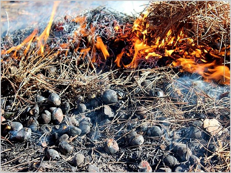 Magusto de castanhas assadas na caruma dos pinheiros
